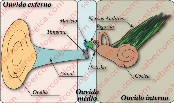 A composição do ouvido